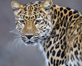Leopard Royalty Free Stock Photos - 3975908