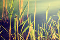 Reeds Against Water. Nature Background. Stock Photos - 39703383