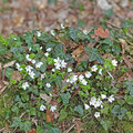 Flowering Wood Sorrel And Ivy On A Dead Trunk Royalty Free Stock Image - 39711006