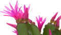 Christmas Cactus Royalty Free Stock Images - 39719649