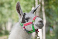 White Lama Stock Images - 39728414