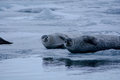 Seals On Ice Stock Image - 39741261