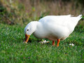 Pekin Duck With Bread On Grass Royalty Free Stock Photography - 39741777