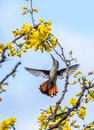 Ruby Hummingbird On The Yellow Blossom Stock Photography - 39744032