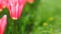 Pink Tulip On Green Grass Background Royalty Free Stock Photo - 39748535