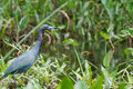 Little Blue Heron Royalty Free Stock Images - 39754249