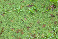 Salvinia Natans Royalty Free Stock Image - 39757446