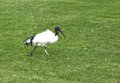 An African Sacred Ibis On Green Stock Photography - 39778762