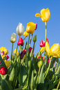 Oregon Tulips Stock Image - 39789701