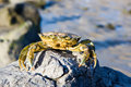 Crab On A Rock Royalty Free Stock Photos - 3982918