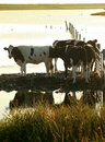 Cows In The Evening Sun Royalty Free Stock Photo - 3987845
