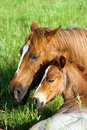 Quarter-horse Mare And Foal Royalty Free Stock Photo - 3989185