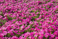 Petunias Beautiful Pink Color On The Flower Field Royalty Free Stock Photo - 39802015