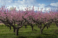 Peach Tree Stock Images - 39803094