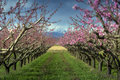 Peach Tree Stock Photos - 39803103
