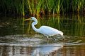 Great Egret Royalty Free Stock Photos - 39823428