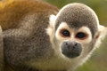 Portrait Of Cute Small Common Squirrel Monkey Royalty Free Stock Image - 39826506