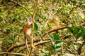 Common Squirrel Monkey Playing Royalty Free Stock Photography - 39826757