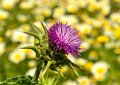 Milk Thistle On Unfocused Background Of Daisies Stock Image - 39839191