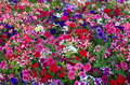 Colors. Colored Petunia Field. Flower Background  Royalty Free Stock Image - 39848306