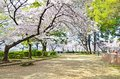 Sakura In Garden Stock Images - 39858464
