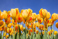 Red And Yellow Tulips Against A Blue Sky Stock Images - 39861074