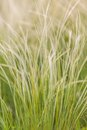 Feather Grass Royalty Free Stock Image - 39872686