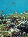 Coral Reef With Fire Corals And Exotic Fishes Anthias At The Bottom Of Tropical Sea Royalty Free Stock Images - 39874629