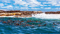 Wild South African Seals Royalty Free Stock Photography - 39881657