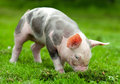 Young Pig On A Green Grass Royalty Free Stock Images - 39914049