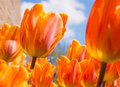 Orange Tulips Royalty Free Stock Photo - 39919585