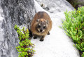 Dassie Or African Badger Royalty Free Stock Photography - 39922167