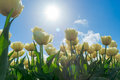 Tulips In Spring Sun. Stock Photography - 39943592