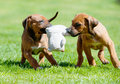 Rhodesian Ridgeback Puppy Playing With A Toy Royalty Free Stock Photos - 39956318