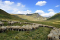 Sheep On The Pasture Royalty Free Stock Photos - 39957298