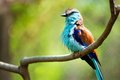Racket-tailed Roller (Coracias Spatulatus) Perched Royalty Free Stock Photography - 39978197