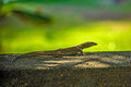 Lizard On A Stone Royalty Free Stock Photography - 39989157