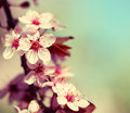 Cherry Blossom. Sakura Royalty Free Stock Photo - 39990625