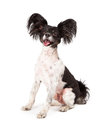 Papillon Dog Big Smile Stock Images - 39995764