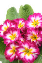 Primula Royalty Free Stock Photography - 4000937