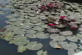 Waterlily Royalty Free Stock Images - 4004359