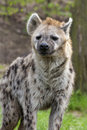 Spotted Hyena Royalty Free Stock Images - 40003019