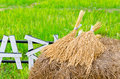 Bunch Of Paddy Jasmine Rice Royalty Free Stock Photo - 40033885