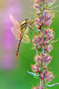 Female Darter Royalty Free Stock Images - 40034679