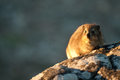 Dassie On Table Mountain South Africa Stock Photography - 40038432