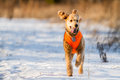 Running Poodle Stock Photography - 40042222
