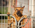 Guard Dog Looking Out From Behind A Wire Gate Royalty Free Stock Images - 40052239