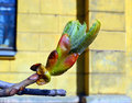 Spring In The City. Horse-chestnut Bud. Stock Image - 40059571