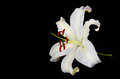 White Lily Flower On Black Background Royalty Free Stock Image - 40062286
