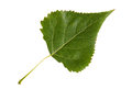 Green Leaf Of Poplar Tree Isolated On White Background Stock Photo - 40081080